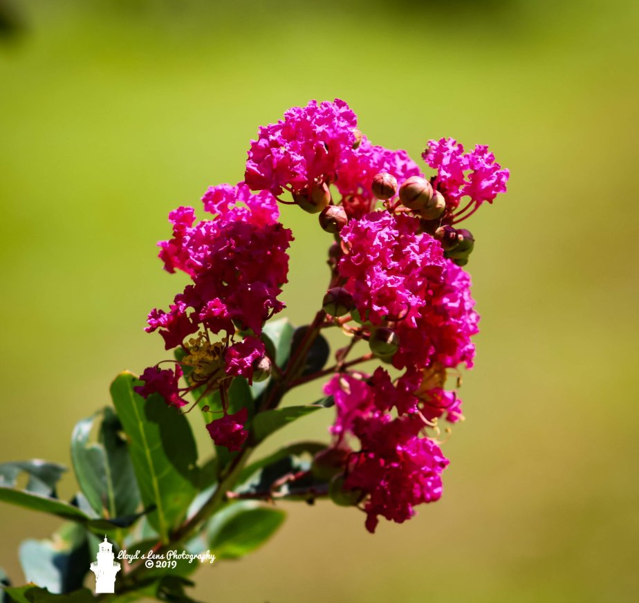 Forage Friday #82 Crape Myrtle