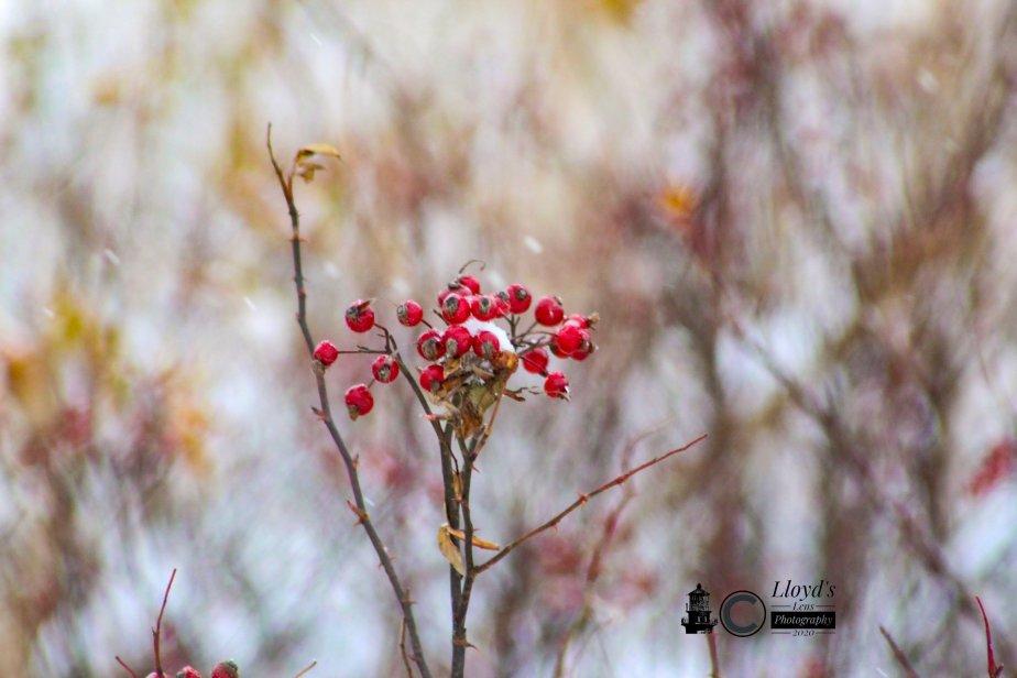 Rose Hips &Winter