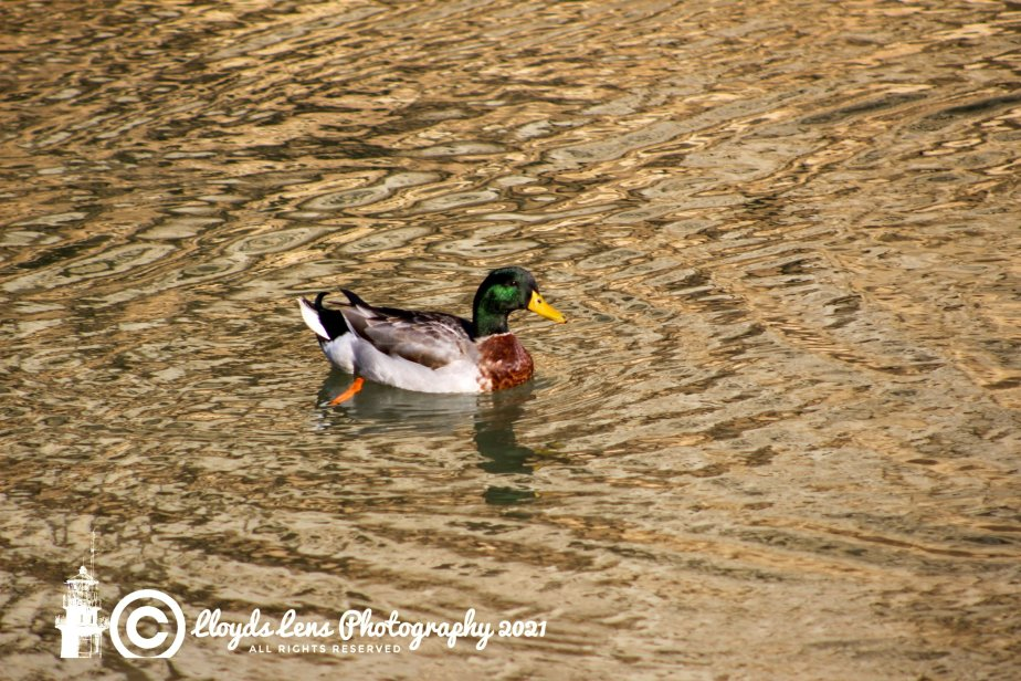Things Are Just Ducky #14 A Day At Winter Pool
