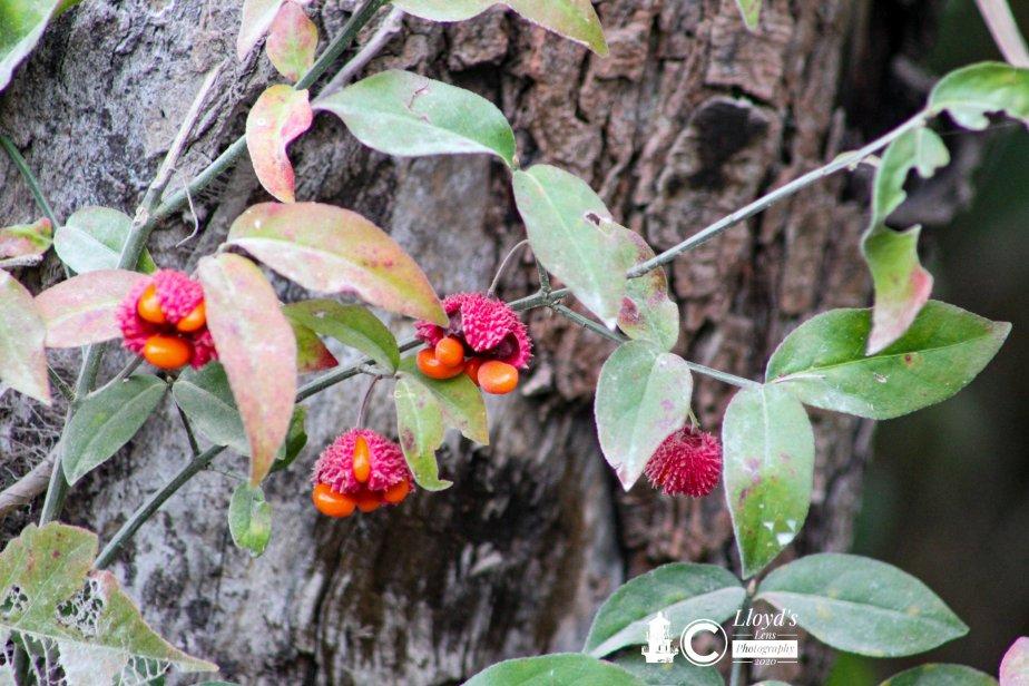 Forage Friday #95 Strawberry Bush –Toxic
