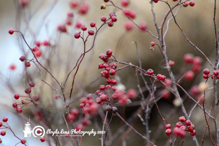 Rose Hips AndSongbirds