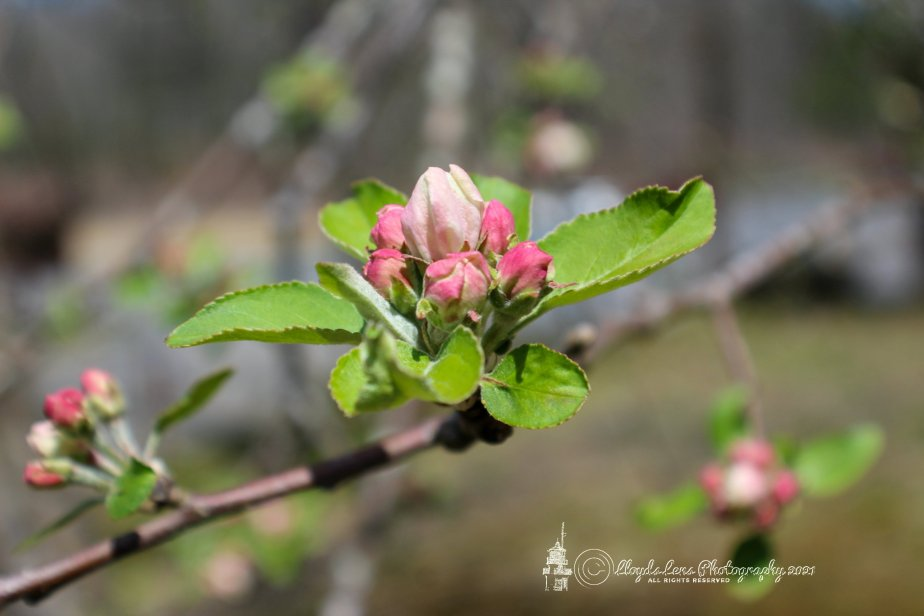 Forage Friday #103 Apple Blossom