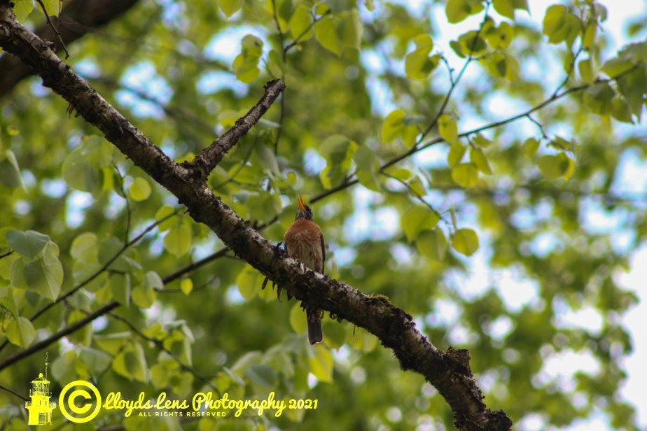 The Joyful Singer & Another Update On TheSongbirds