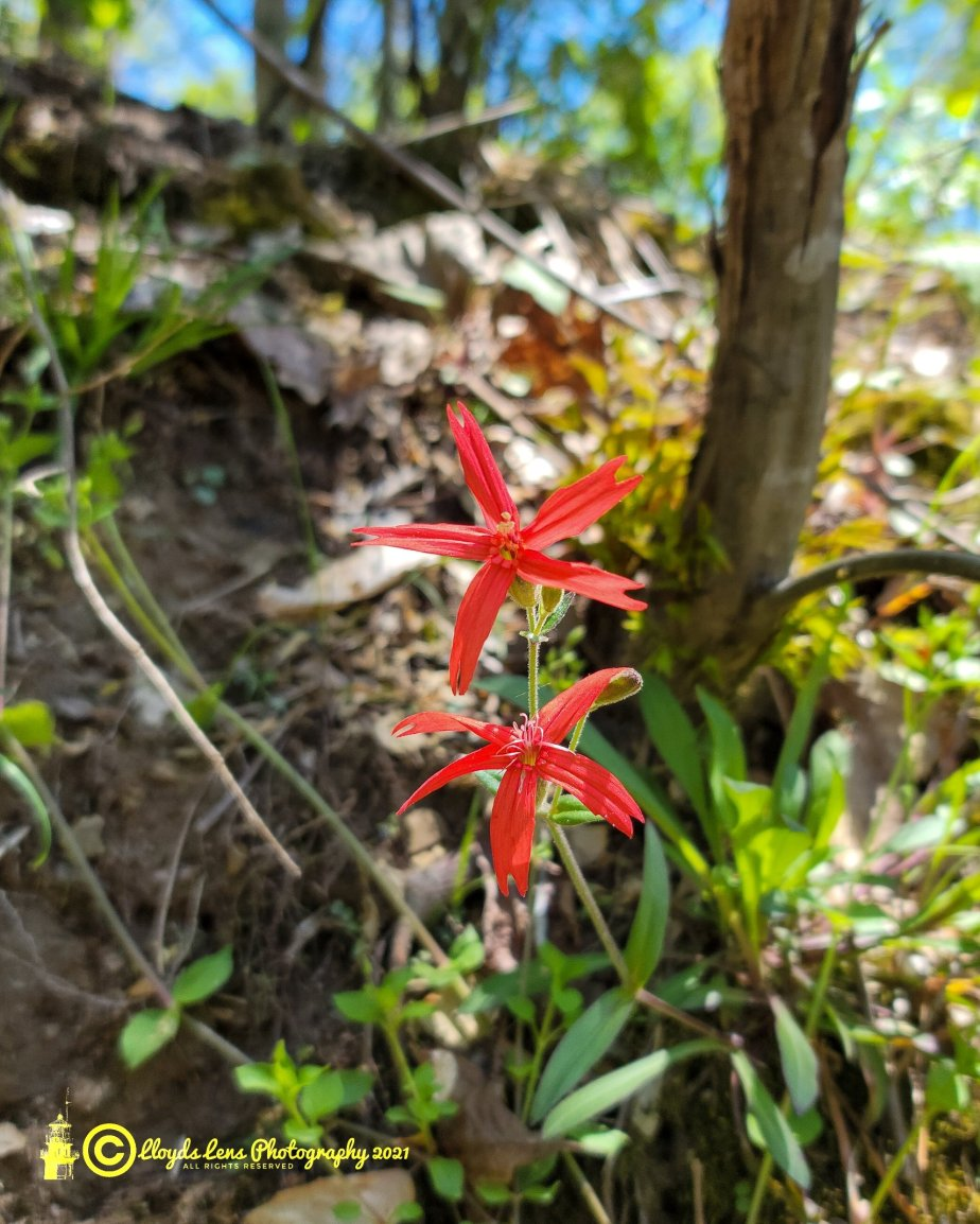 The Fire Pinks Of Panther Mountain & The Importance Of NativeSpecies