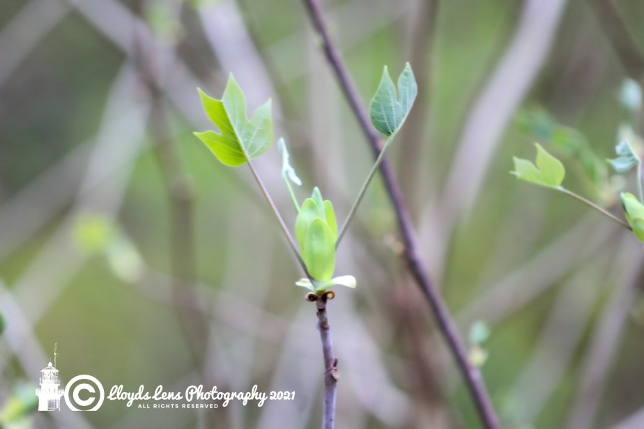 Forage Friday #106 Yellow Poplar (TulipTree)