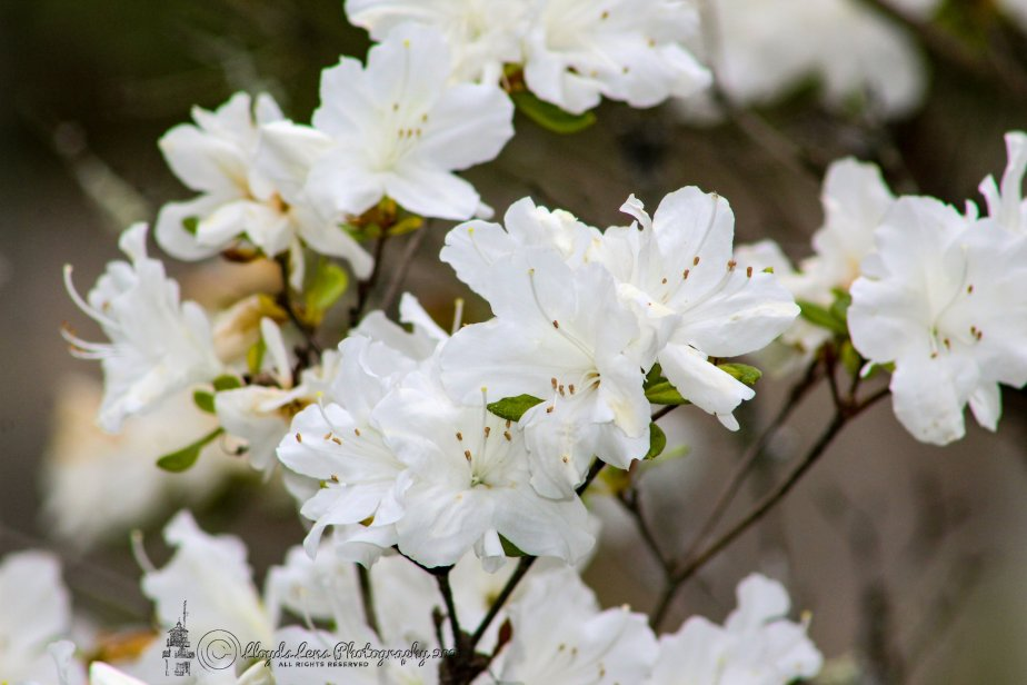 White Azaleas &Waiting