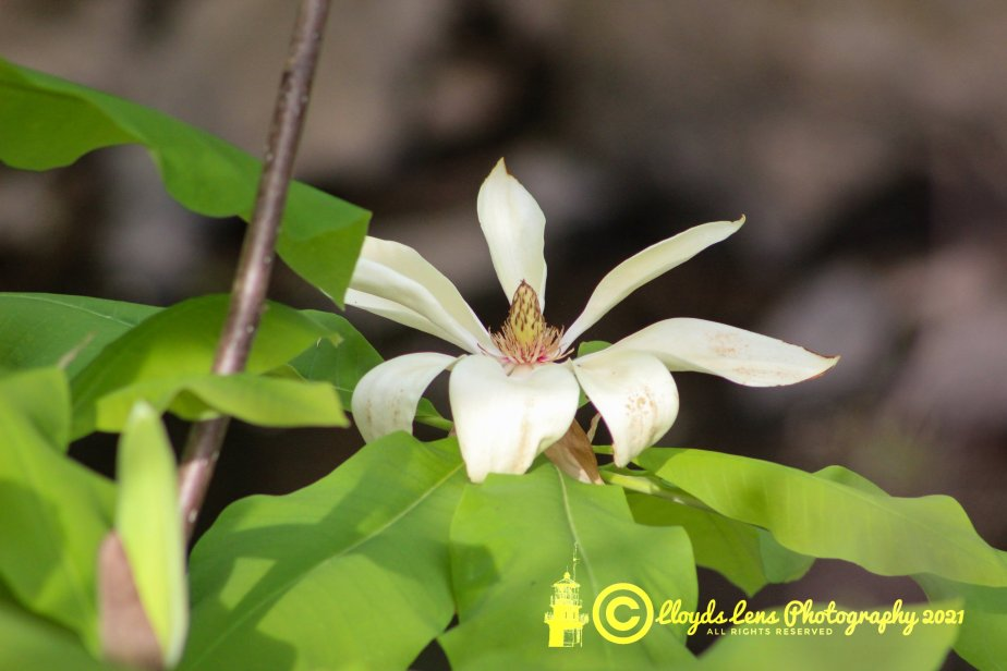 Mountain Magnolias. A TrueJoy.