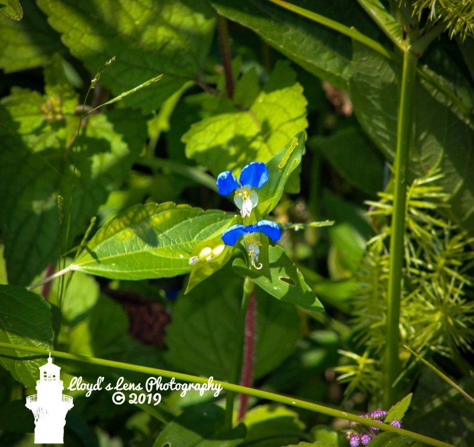 Forage Friday #116 AsiaticDayflower