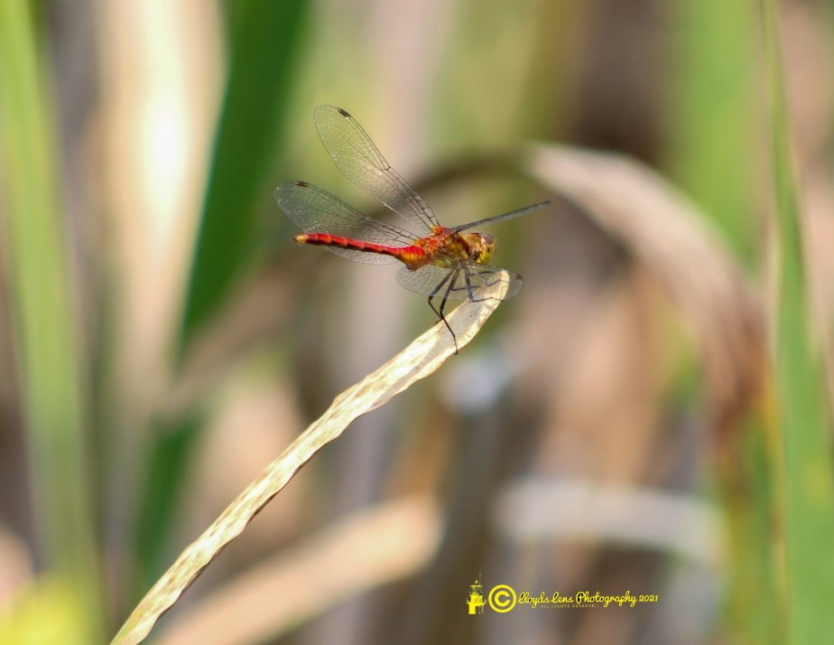 The Ruby Meadowhawk