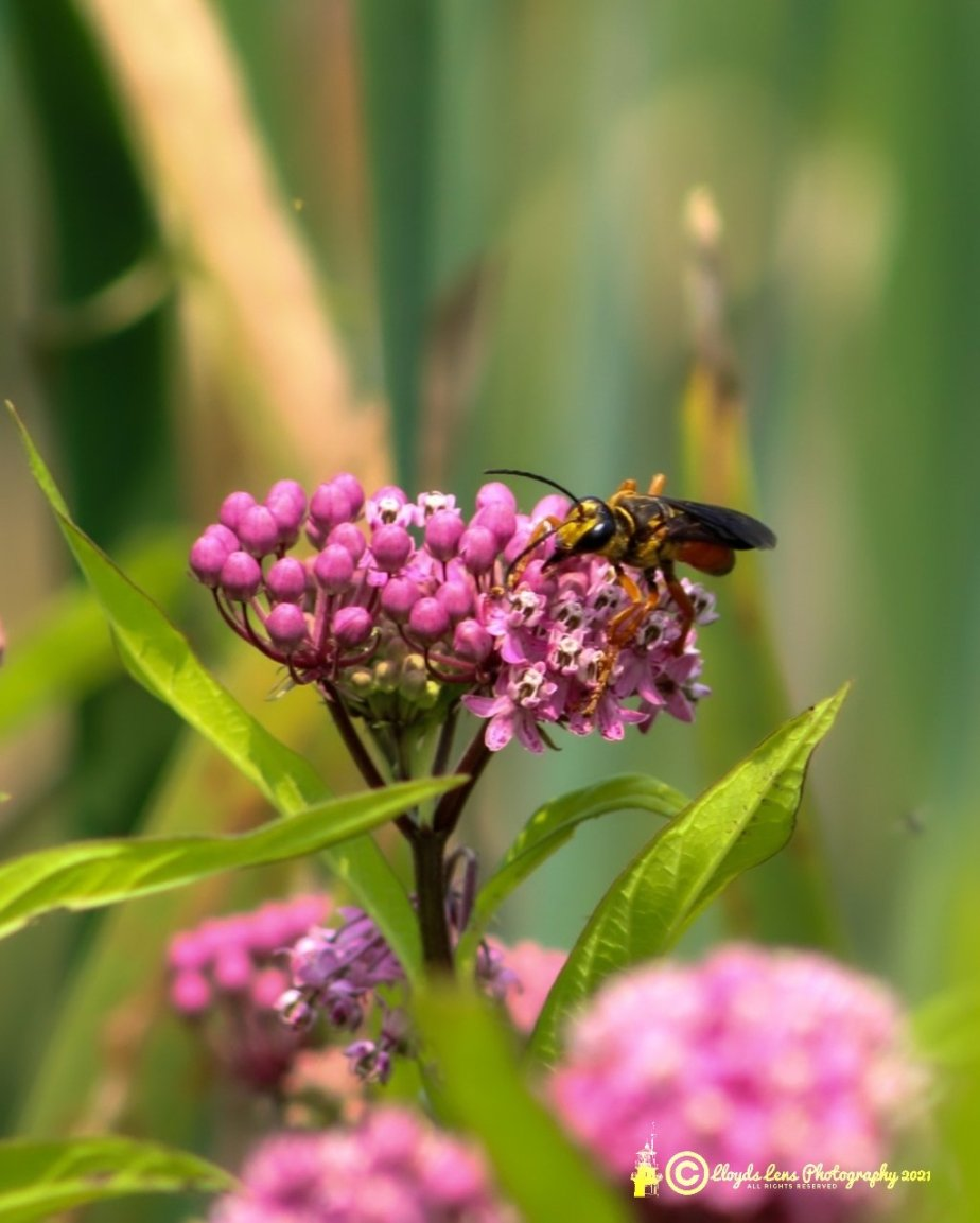 The Great Golden Digger Wasp2021