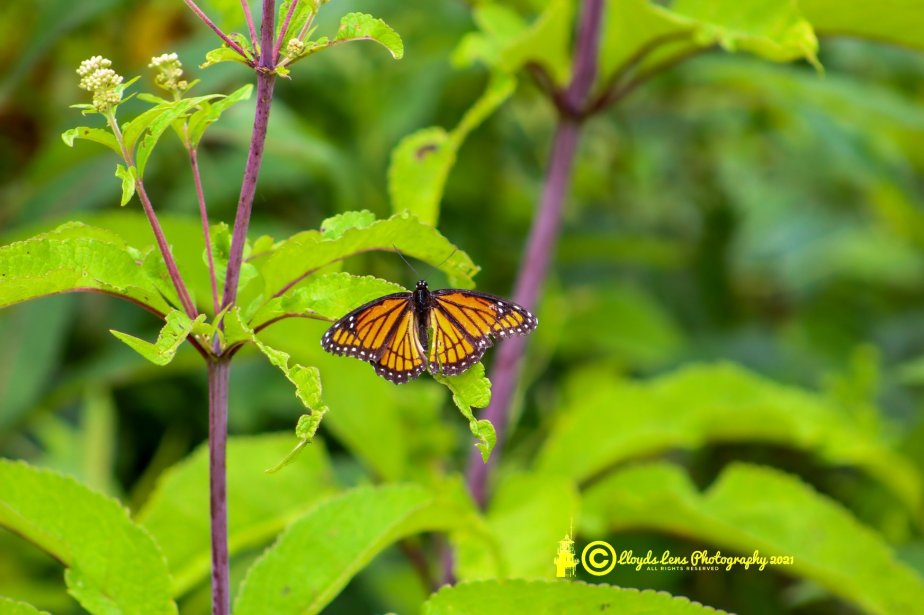 Viceroy Butterfly Encounter2021