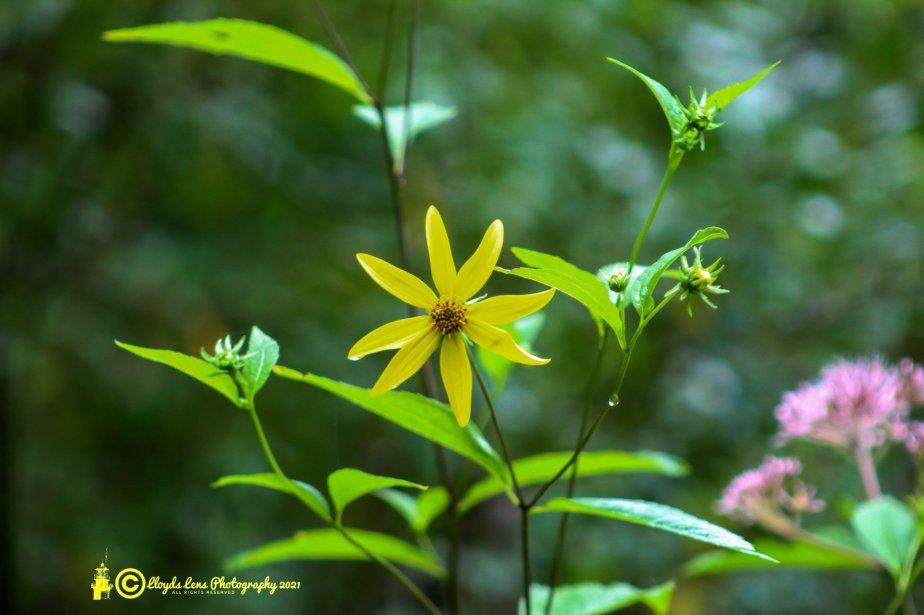 Forage Friday #122 WildSunflowers