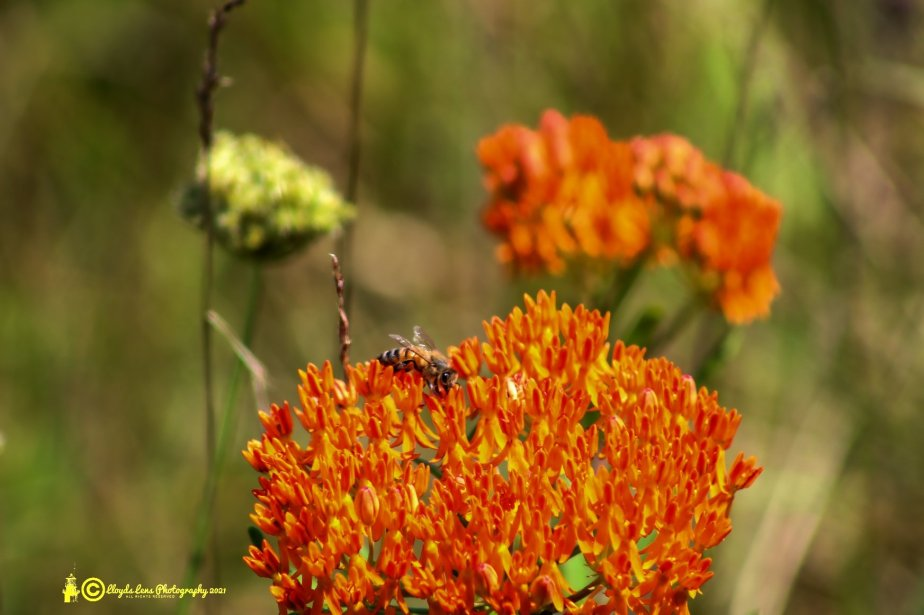 Forage Friday #123 ButterflyWeed